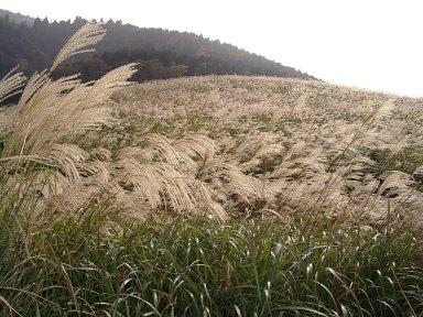仙石原のすすき草原:Wikipediaからの抜粋.jpg
