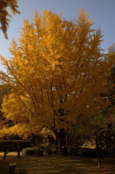 秋のイチョウ.jpg