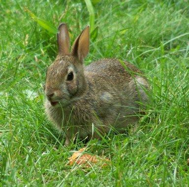 aaOryctolagus-cuniculus-and-carrot.jpg
