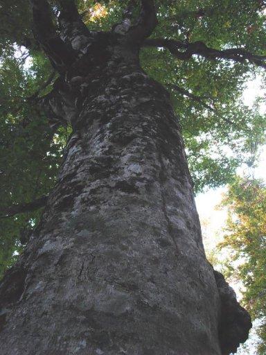 津軽峠の樹齢400年ブナ マザーツリー.jpg