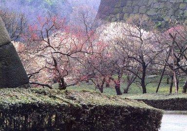 満開の梅がみどとな梅林坂.jpg