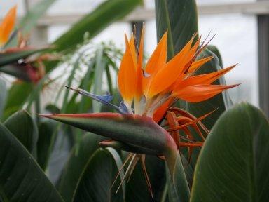 Strelitzia_reginae_1_-_Buffalo_Botanical_Gardens.jpg